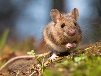 Mysz – sennik. Znaczenie snu o myszach