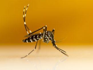 Groźny komar tygrysi w Polsce. Jak go rozpoznać?