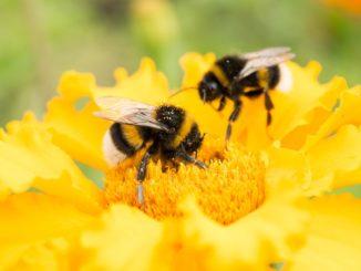 Ugryzienie trzmiela – co robić w przypadku alergii?